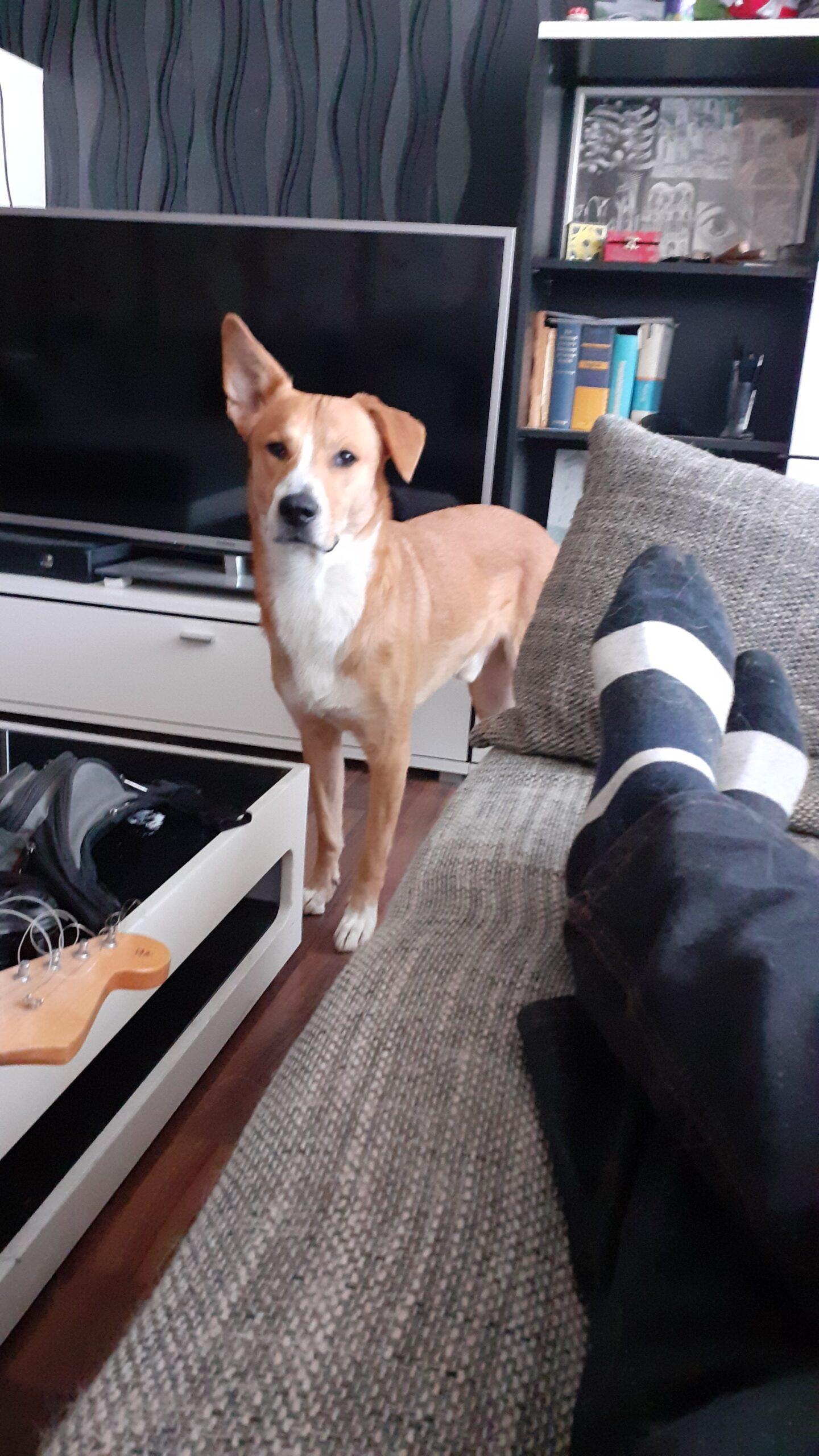 Bitte um Mithilfe bei der Suche meines mir kackfrech gestohlenen Hundes Ringo